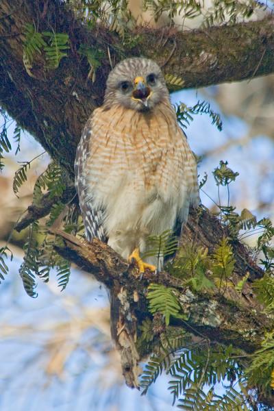 Hawk - Red-shouldered - Corkscrew Swamp, FL - 02