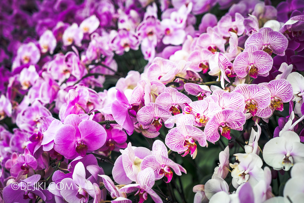 Gardens by the Bay Flower Dome - Orchid Extravaganza Floral Display 2017 / Violet Gradients