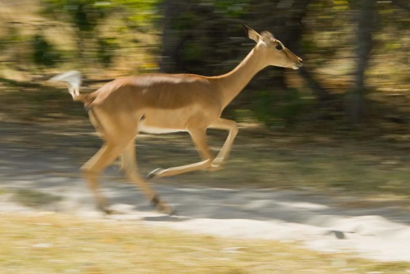 Running Impala.jpg