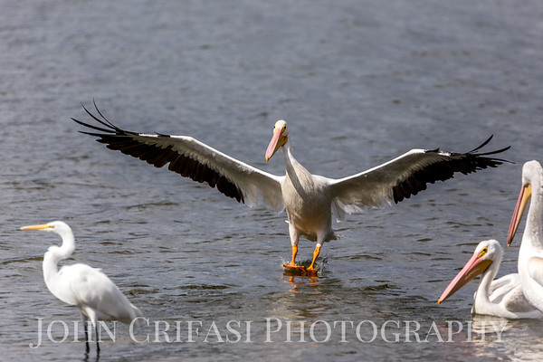North American White Pelicans, LSU Lakes, October 2017