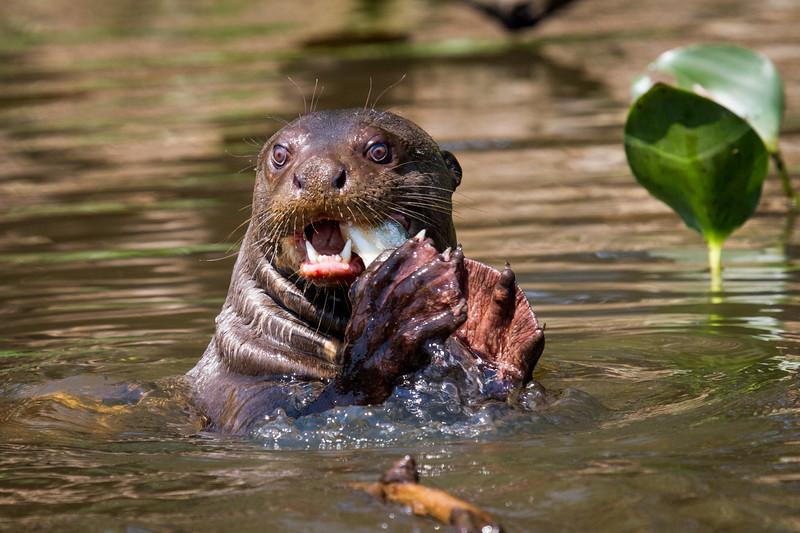 Otterly Fishy