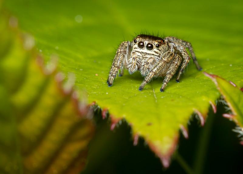 Female zebra jumping spider.jpg
