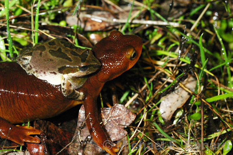 Frog tries to mate with New