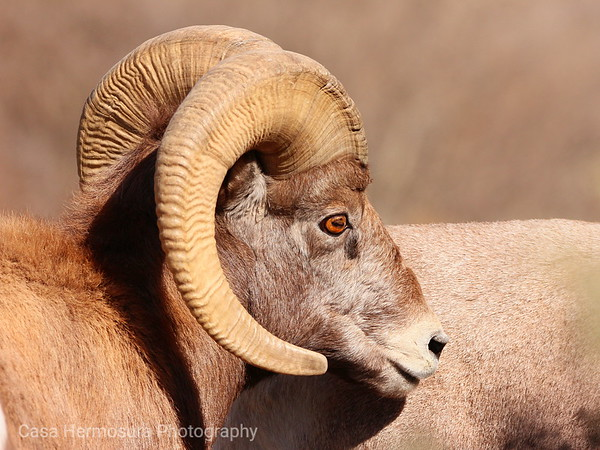 Bighorns and Pronghorns