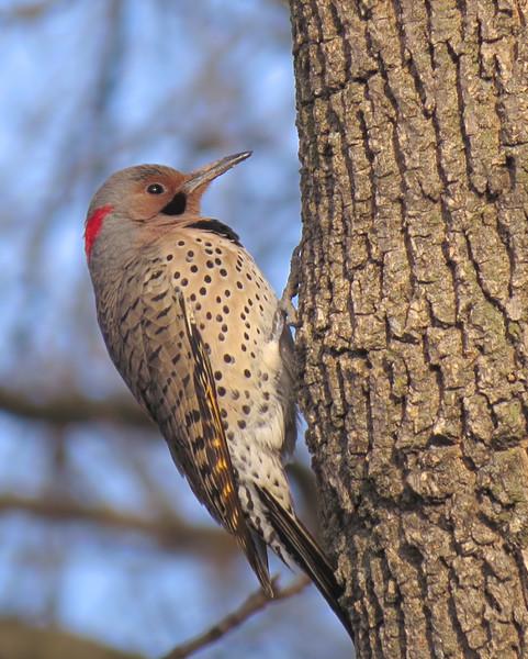 sx50_flicker_bit_woodpecker 318.jpg