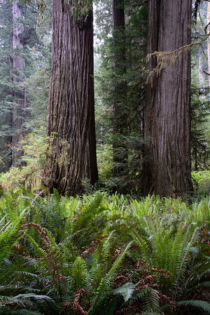 Redwoods-Rhodendrons