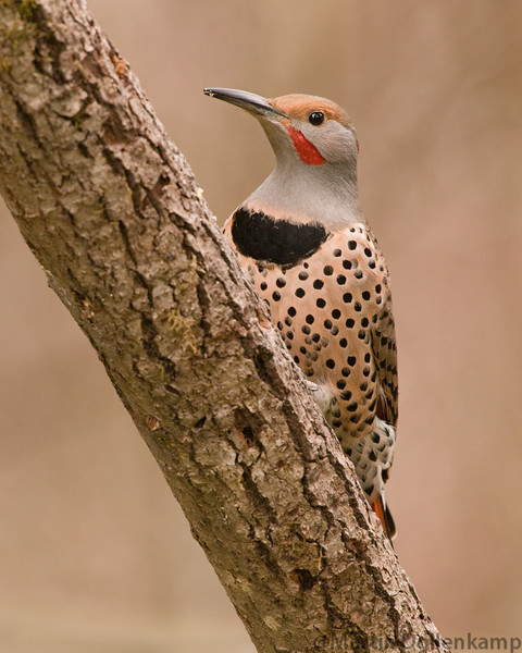 Flickers will drum in the spring on the loudest thing  they can find.
