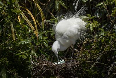 White Heron - Breeding