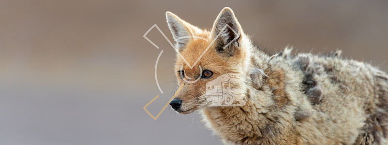 Portrait of culpeo (Lycalopex culpaeus) or Andean fox, at the Siloli desert in Eduardo Avaroa Andean Fauna National Reserve