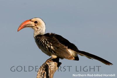 Northern Red-billed Hornbill, Kenya
