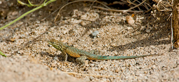 Common Side-blotched Lizard