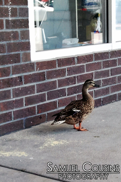 Duck hanging out in front of Rite Aid.