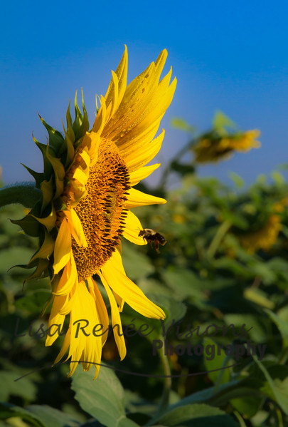 20150918-Sunflowers-109-Edit.jpg