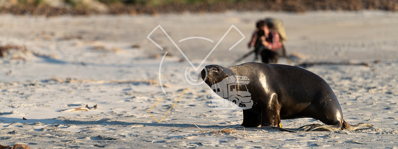 Wildlife photographer waiting peacefully on a sandy beach untill a female New Zealand Sea Lions walks by