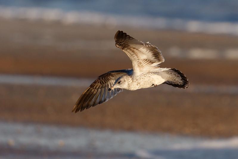 Seagull in Flight-1195.jpg
