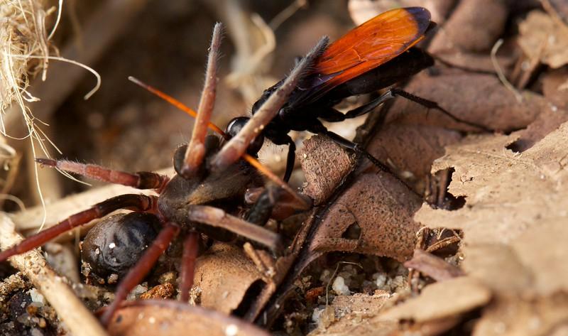 Tarantula hawk (Pompilidae) with spider prey