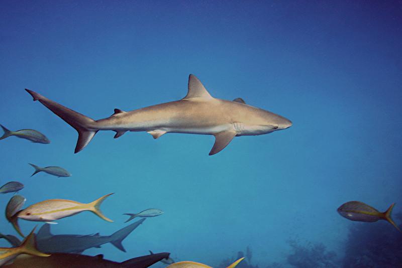 Reef Shark - Bahamas