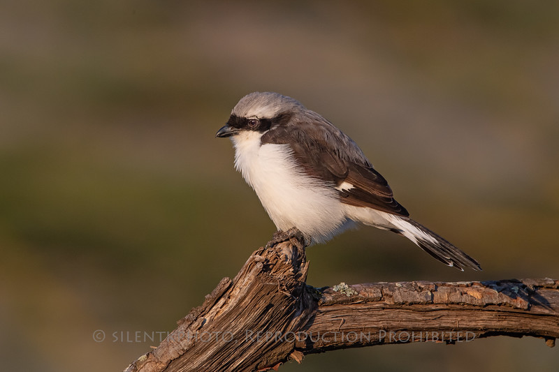 Gray=Backed Shrike, Serengeti Plains