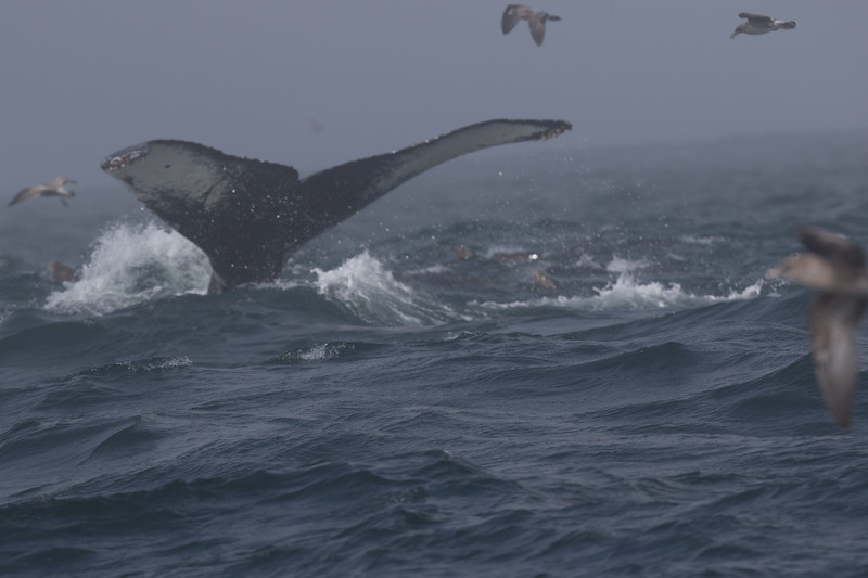 Humpbacked Whale (show) off Half Moon Bay-15.CR2