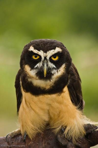Spectacled Owl, African Lion Safari, Ontario Canada.