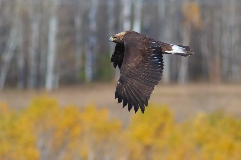 Golden Eagle immature Hawk Ridge Summit Ledges Duluth MN IMG_4147.jpg