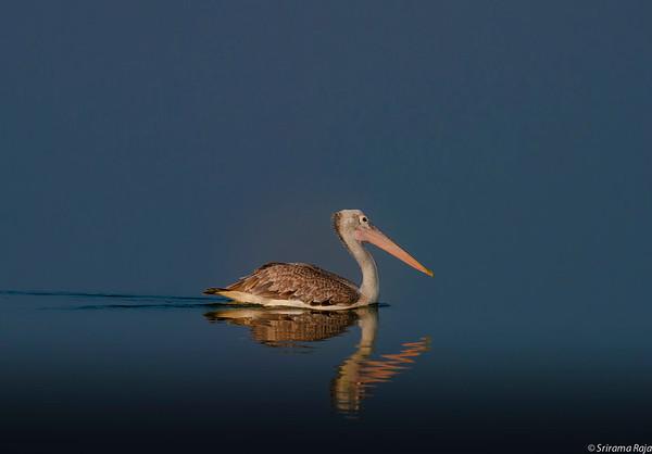 Birding around Chennai - Sep 2013