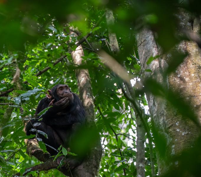 Uganda_T_Chimps-1542.jpg