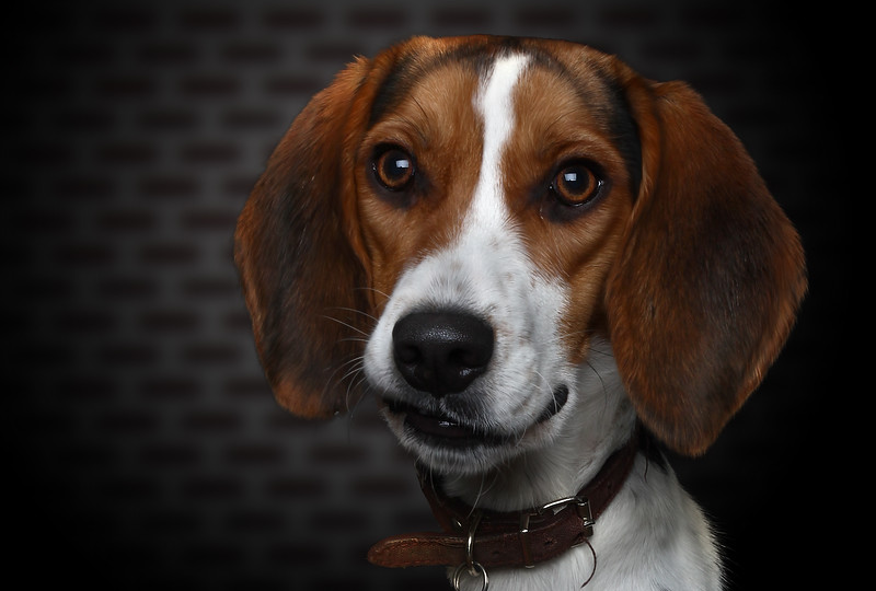 Beagle-3.jpg