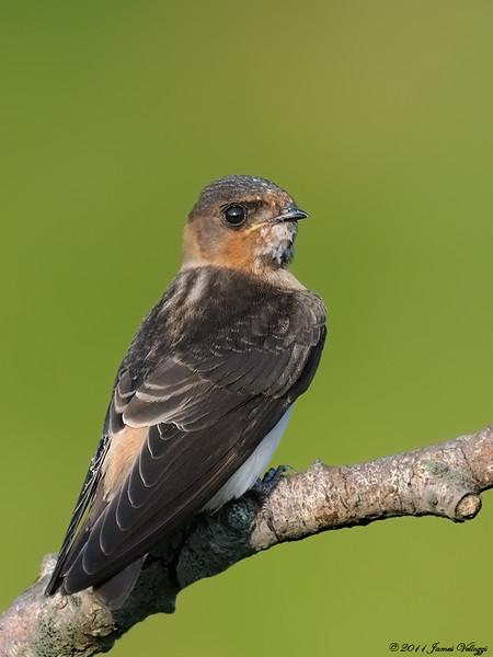 Cliff Swallow, Petrochelidon pyrrhonota