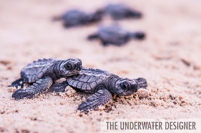 Kemp's Ridley Sea Turtles