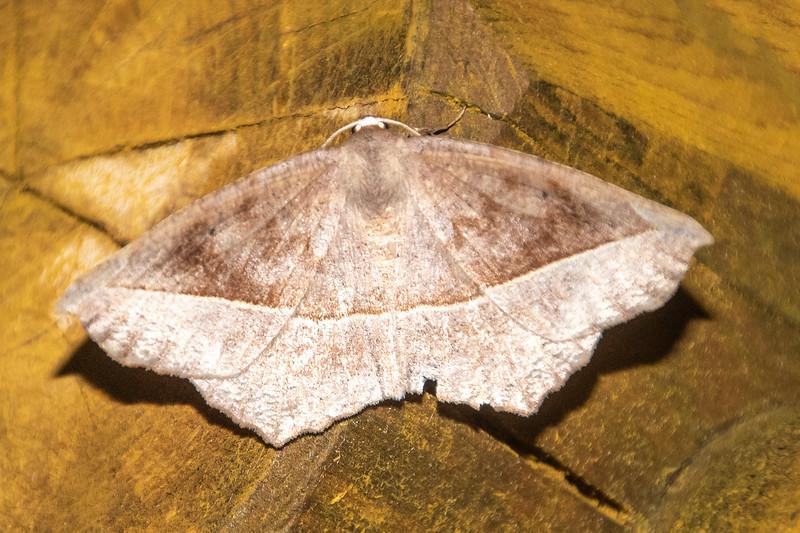 Geometer-Curve-toothed-(Eutrapela clemataria)- Dunning Lake - Itasca County, MN