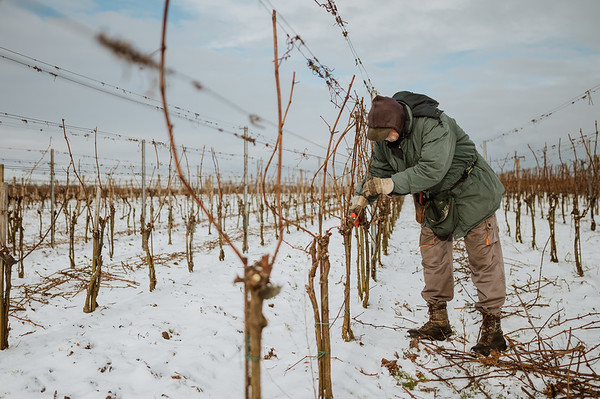 Jastik :: zimni vinohrady 2021