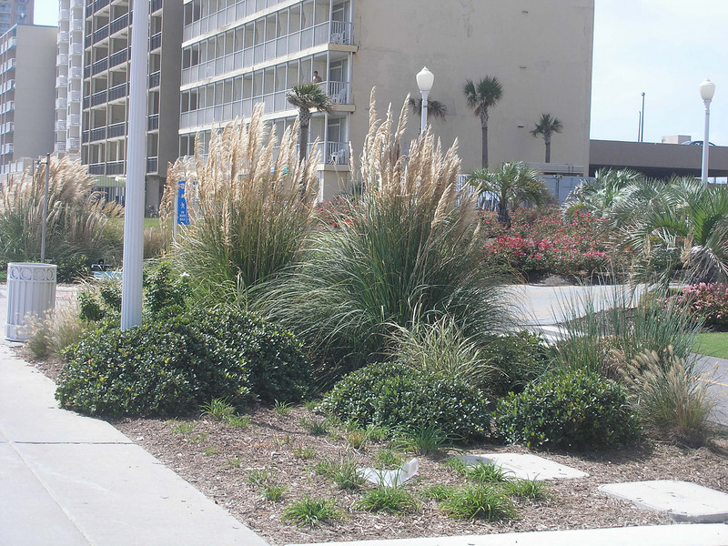 Pampas grass along Virginia Beach walkway