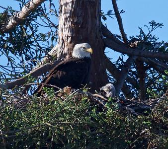 Milipitas Bald eagles