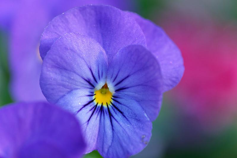 'Sorbet™ Blue Heaven' viola (Viola cornuta)