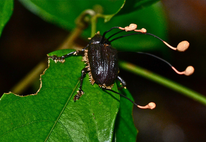 Beetle that has been attacked by fungi