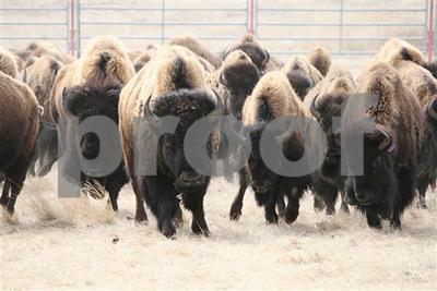 texas-historic-bison-herd-has-more-roaming-room