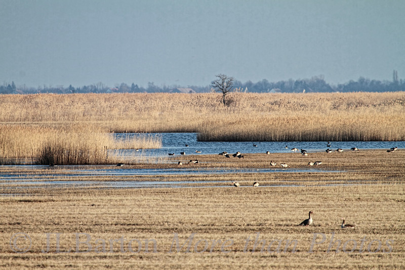 Seewinkel - around the Neusiedlsee in March.  Lots of greylag geese along the salt ponds and reeds.