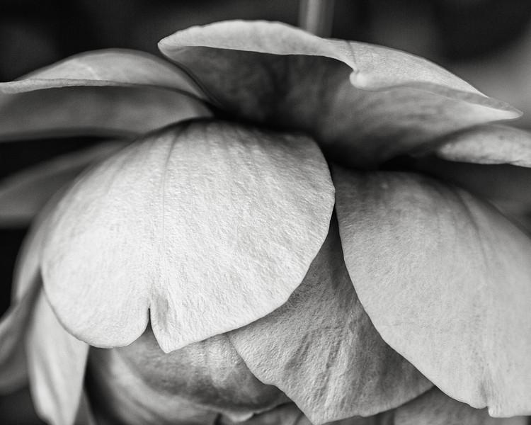 rose-lady-of-shalott-04.jpg