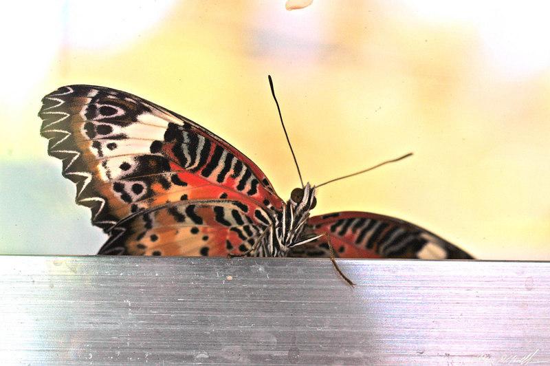 2006 Key West Butterflies DSC_0251.jpg