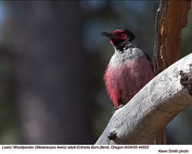 Lewis'WoodpeckerA44652.jpg