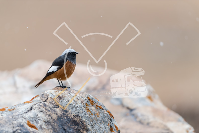 The Güldenstädt's redstart (Phoenicurus erythrogastrus) also sometimes called the white-winged redstart