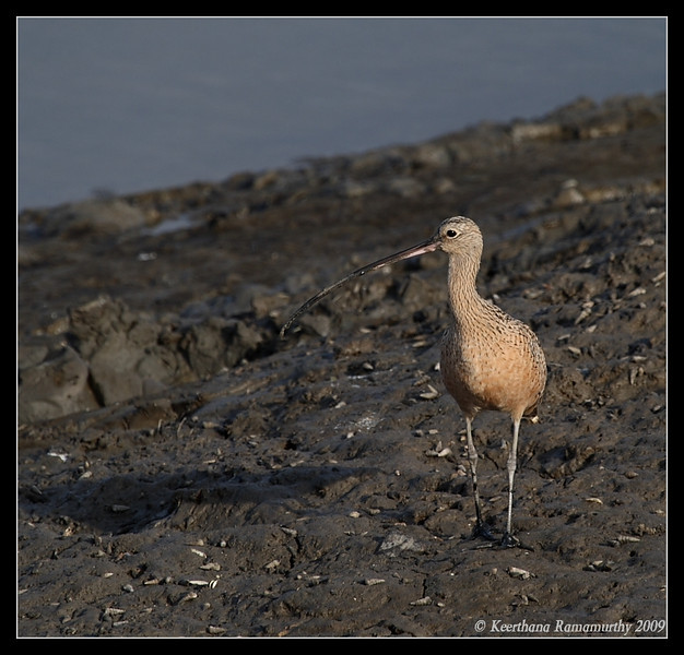 Long Billed Curlew, Tijuana RIver Estuary, San Diego County, California, March 2009