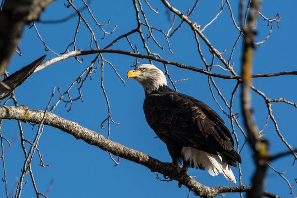 Wildlife: Eagles