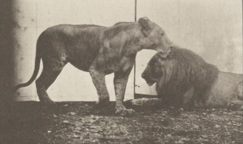 Lioness walking and lion lying down