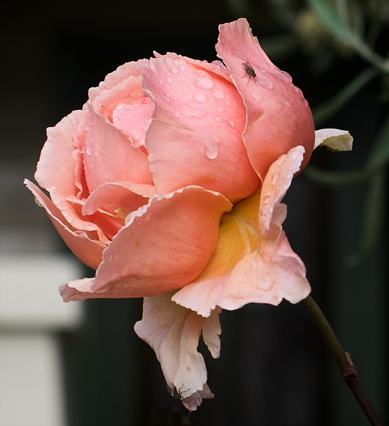 Rose: slightly dishevelled and damp. Visitors don't seem to mind.