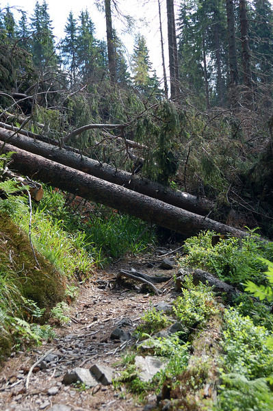 The track was blocked by cut trees in many places.