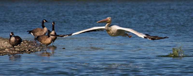 American White Pelican and Canada Geese