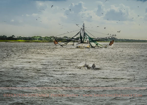 Bottle-nosed Dolphins shadow a fishing boat near Tybee Island, GA