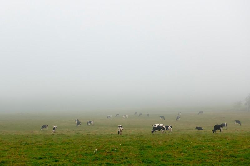 prince edward island cows.jpg